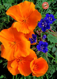 (DES 31) Desert Bluebells and Mexican Gold Poppies, Mingus Mountain, AZ