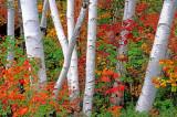 Birches near Gorham NH
