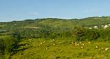 _DSC0469. Cattle On A Hill - Williamsfield