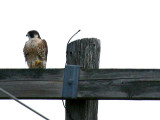 IMG_4266_peregrine_falcon.jpg