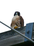 IMG_4276_peregrine_falcon.jpg