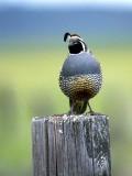 IMG_4286_california_quail.jpg