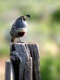 IMG_4349_california_quail.jpg