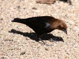 IMG_4389_brown_headed_cowbird.jpg