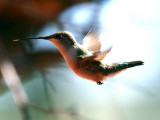 IMG_4395_black_chinned_hummingbird.jpg