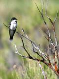 IMG_4410_eastern_kingbird.jpg