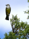 IMG_4413_western_kingbird.jpg