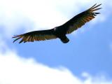 IMG_4423_turkey_vulture.jpg