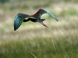 IMG_4442_white_faced_ibis.jpg