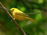 IMG_4448_yellow_warbler.jpg