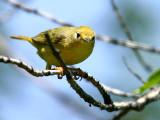 IMG_4458_yellow_warbler.jpg