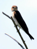 IMG_4496_northern_rough_winged_swallow.jpg