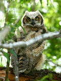IMG_4510_great_horned_owl.jpg