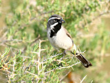IMG_4534_black_throated_sparrow.jpg