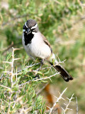 IMG_4535_black_throated_sparrow.jpg