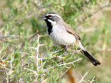 IMG_4540_black_throated_sparrow.jpg