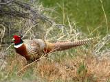 IMG_4644_ring_necked_pheasant.jpg