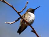 IMG_4745_black_chinned_hummingbird.jpg
