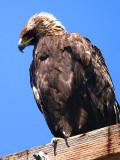 IMG_4776_golden_eagle.jpg