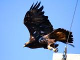 IMG_4780_golden_eagle.jpg