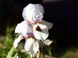 IMG_4788_iris_butterfly.jpg