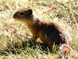 IMG_4789_ground_squirrel.jpg