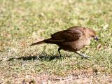 IMG_4807_brown_headed_cowbird.jpg