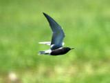 IMG_4886_black_tern.jpg