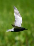 IMG_4896_black_tern.jpg