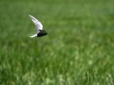 IMG_4902_black_tern.jpg