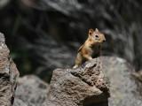 Golden-mantled Ground-Squirrel