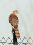 Accipiter sp., juvenile