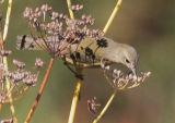 Orange-crowned Warbler, gray-headed
