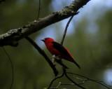 scarlet tanager 165