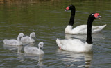 black necked swans and cygnets.jpg