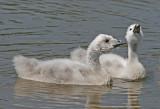 black necked swan cygnets.jpg
