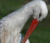 white stork preening.jpg