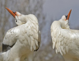 white storks displaying.jpg