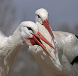 white storks displaying 2.jpg