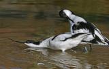 avocet courtship.jpg