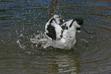 avocet bathing 3.jpg