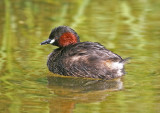little grebe 4.jpg