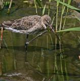 black tailed godwit 2.jpg