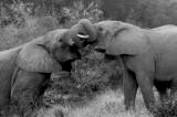 elephants kariega mono.jpg
