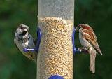 house sparrows male.jpg