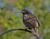 starling adult.jpg