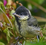 fledgling great tit 2.jpg