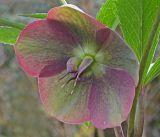 lenten rose 3.jpg