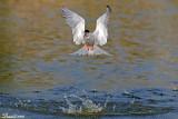 common_tern