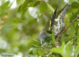 Thick-billed Green Pigeon -- sp 111